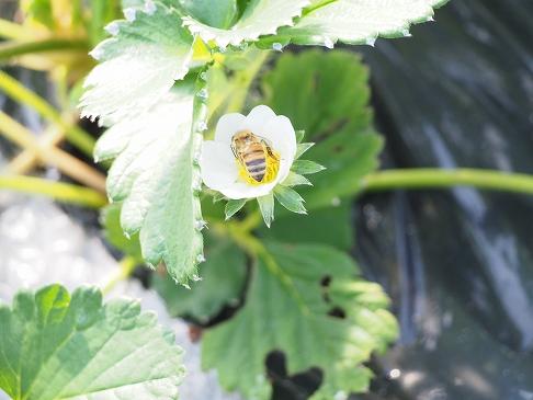 無農薬いちごとミツバチ