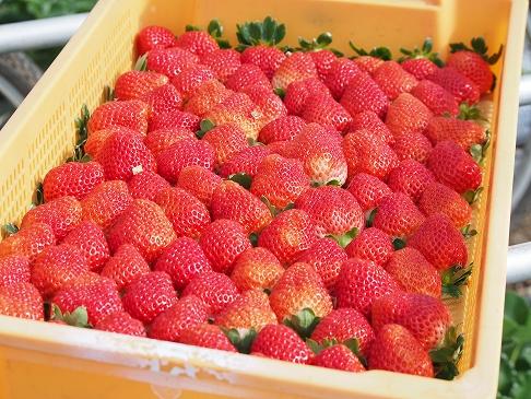 有機栽培無農薬いちご