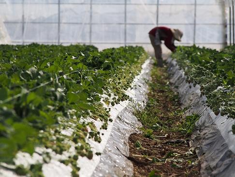 無農薬いちご栽培