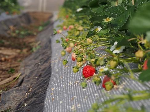 無農薬いちご栽培風景
