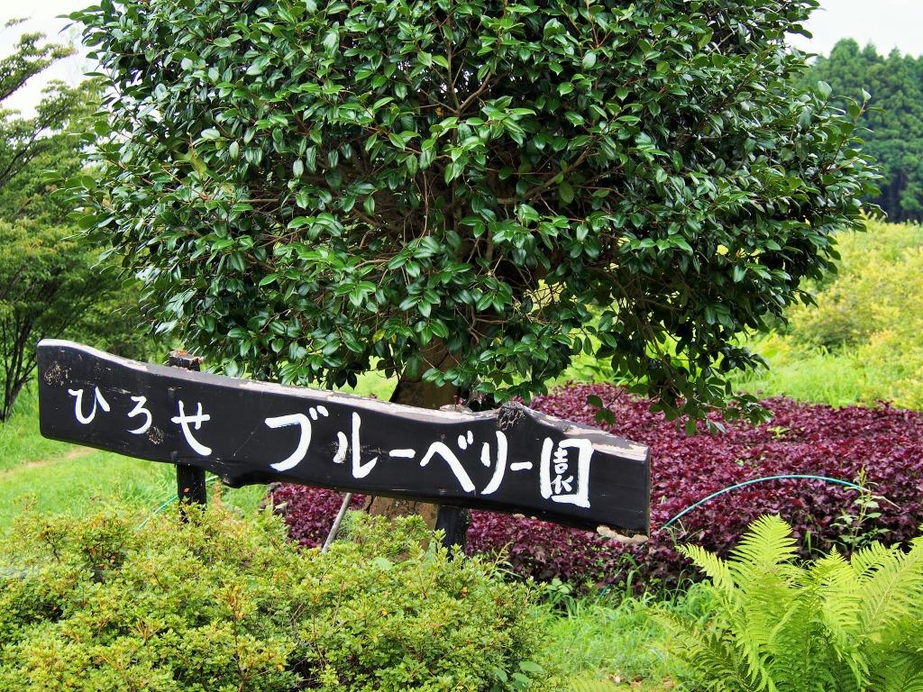 熊本県西原村広瀬さんの無肥料・無農薬・オーガニック・自然栽培ブルーベリー