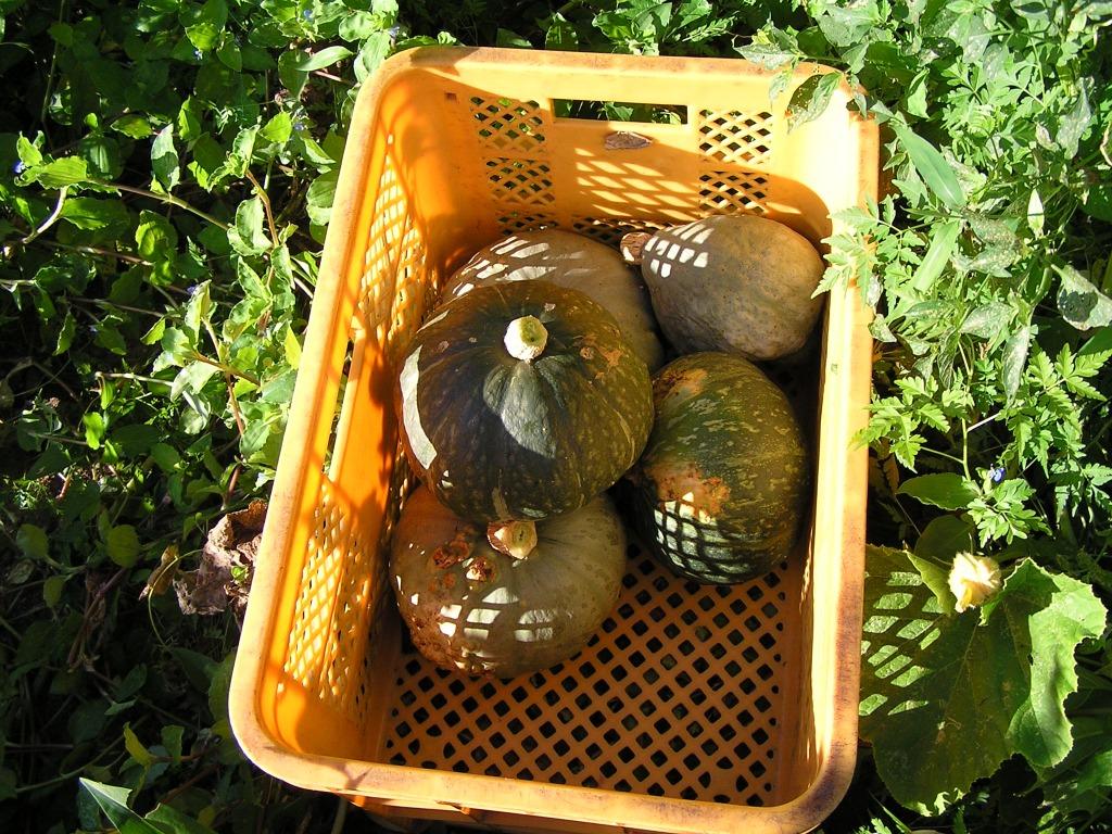 九州熊本県澤村さん自然栽培有機栽培無農薬かぼちゃ有機栽培カボチャ有機栽培南瓜