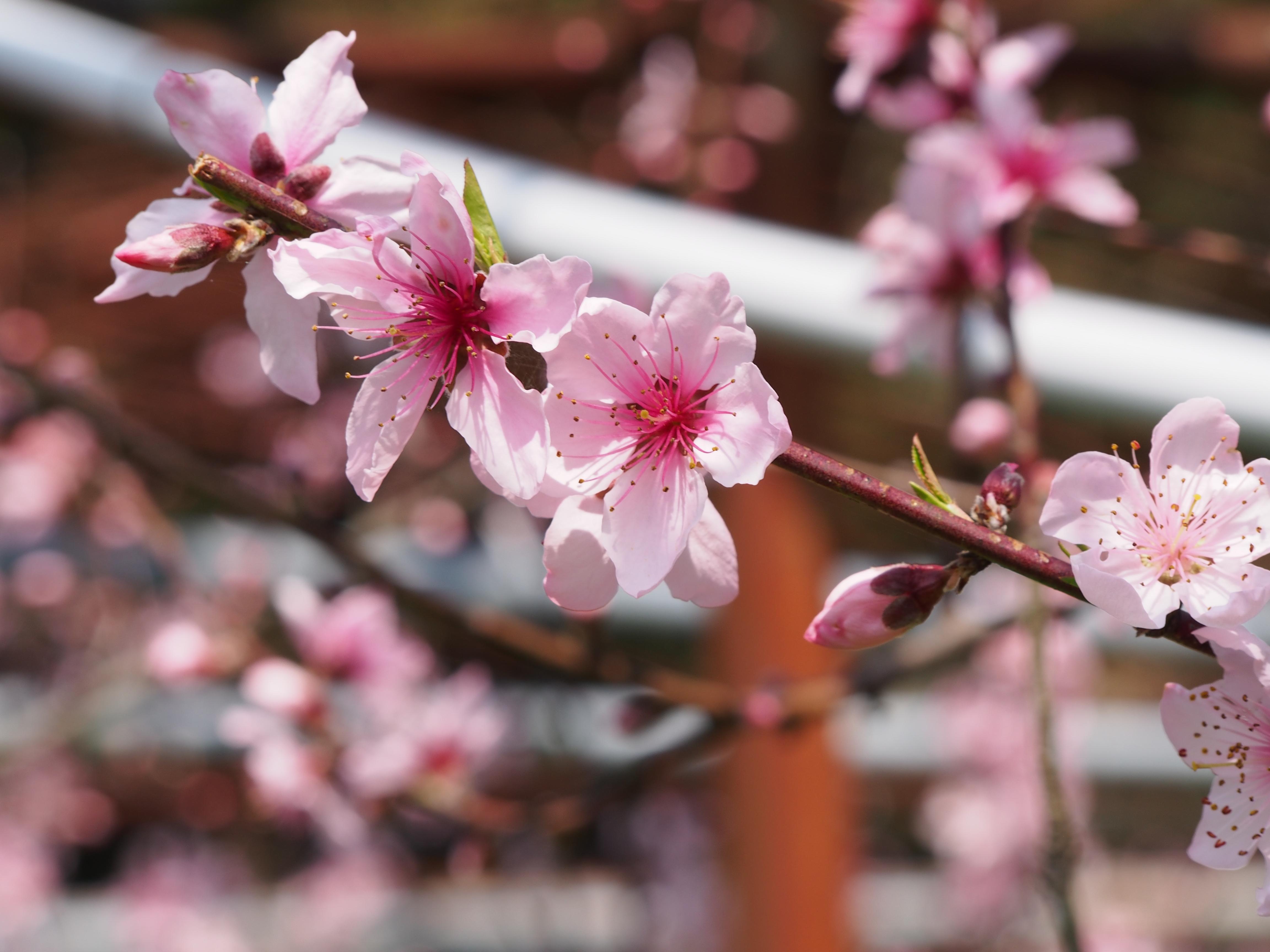 熊本県西田さんの自然栽培桃