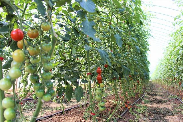 大分県宇佐市 さとう有機農園 有機栽培 小松菜