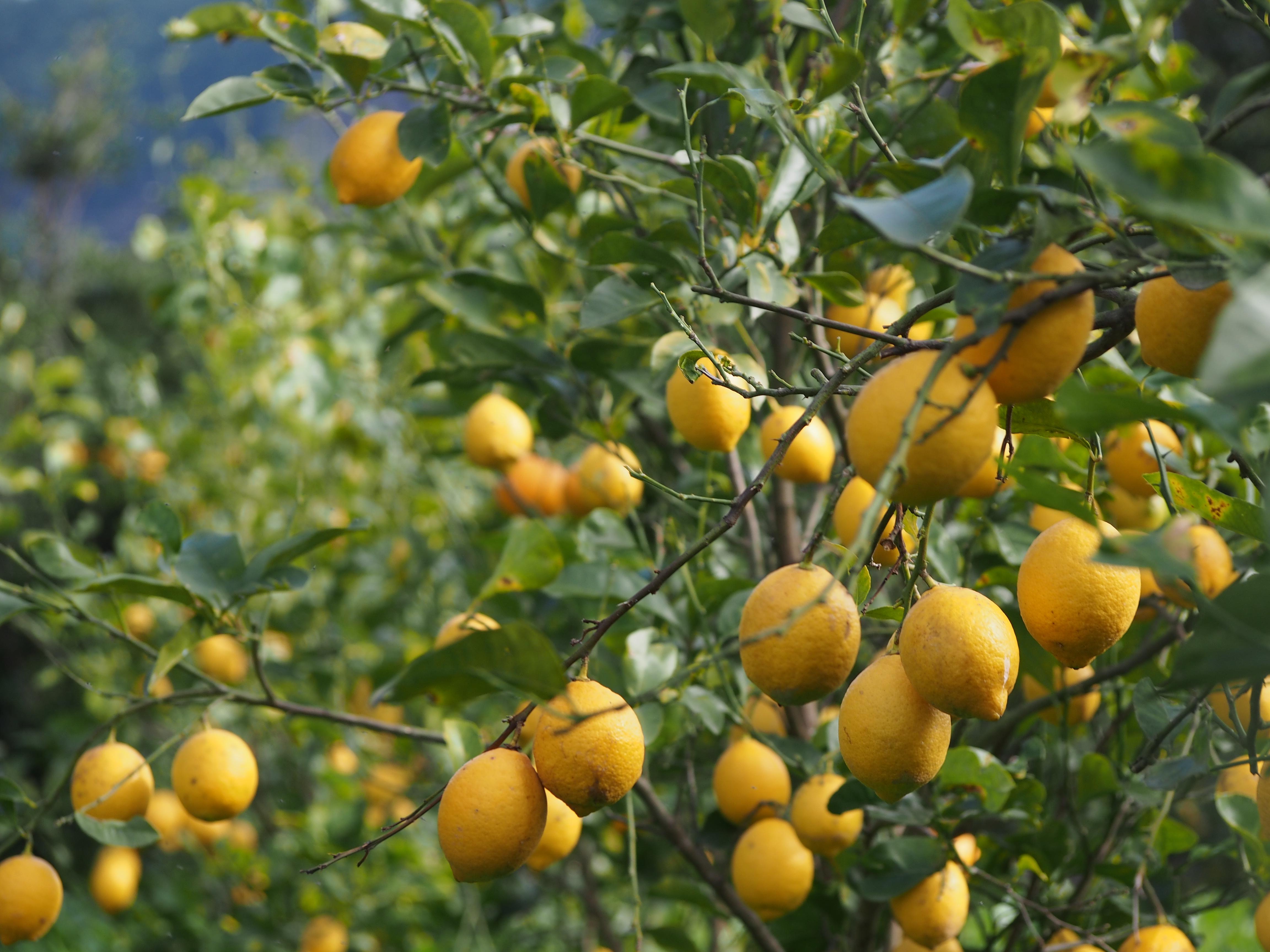 九州熊本県水俣市 福島雄治さんの自然栽培レモン、国産レモン