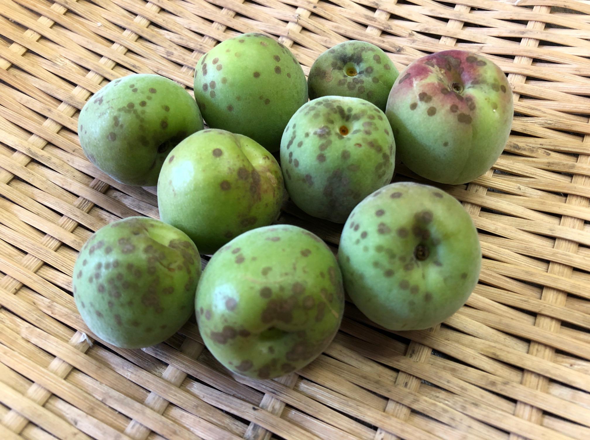 園田さんの自然栽培梅