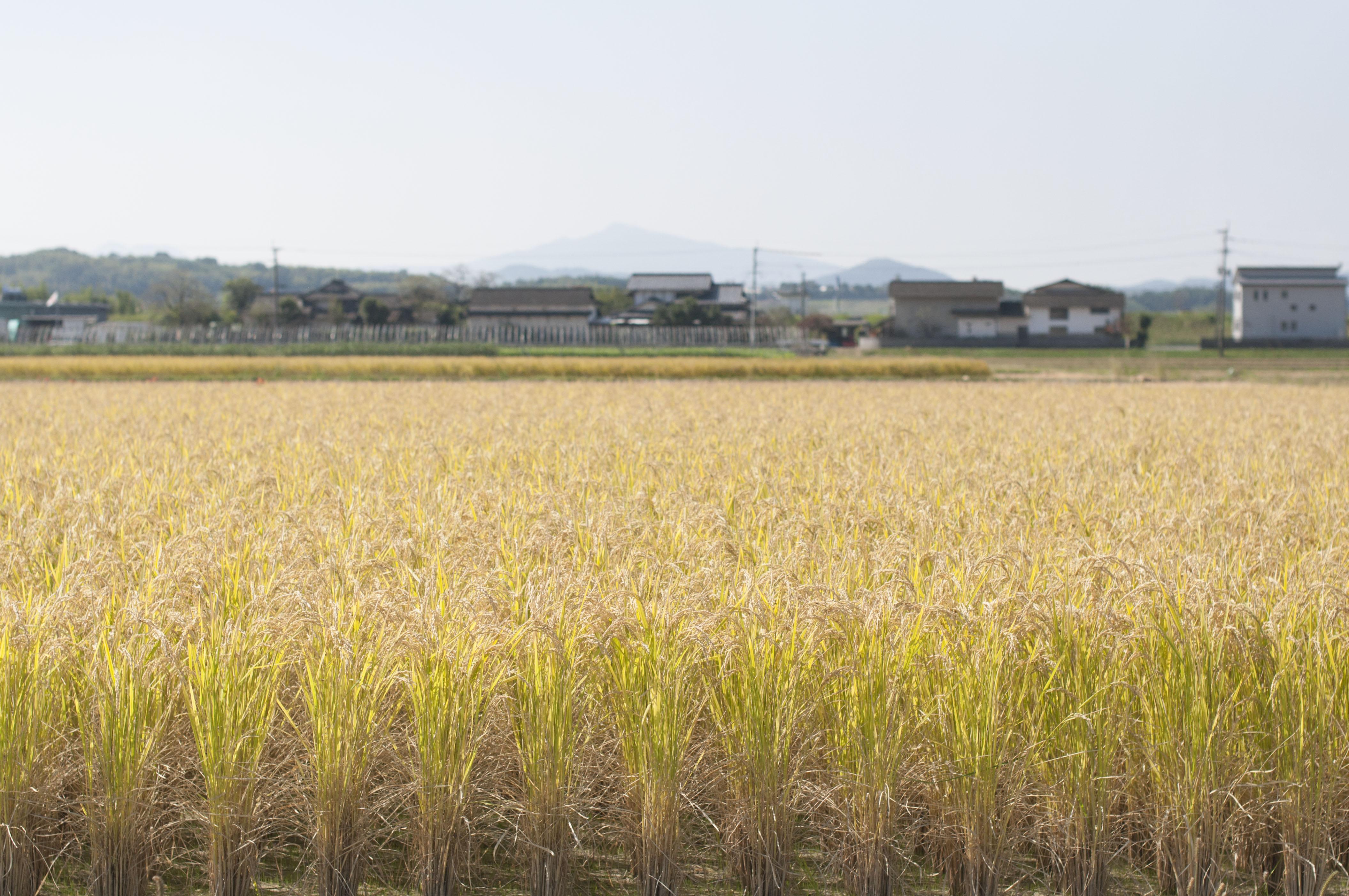 収穫前に、きれいにそろっている稲穂