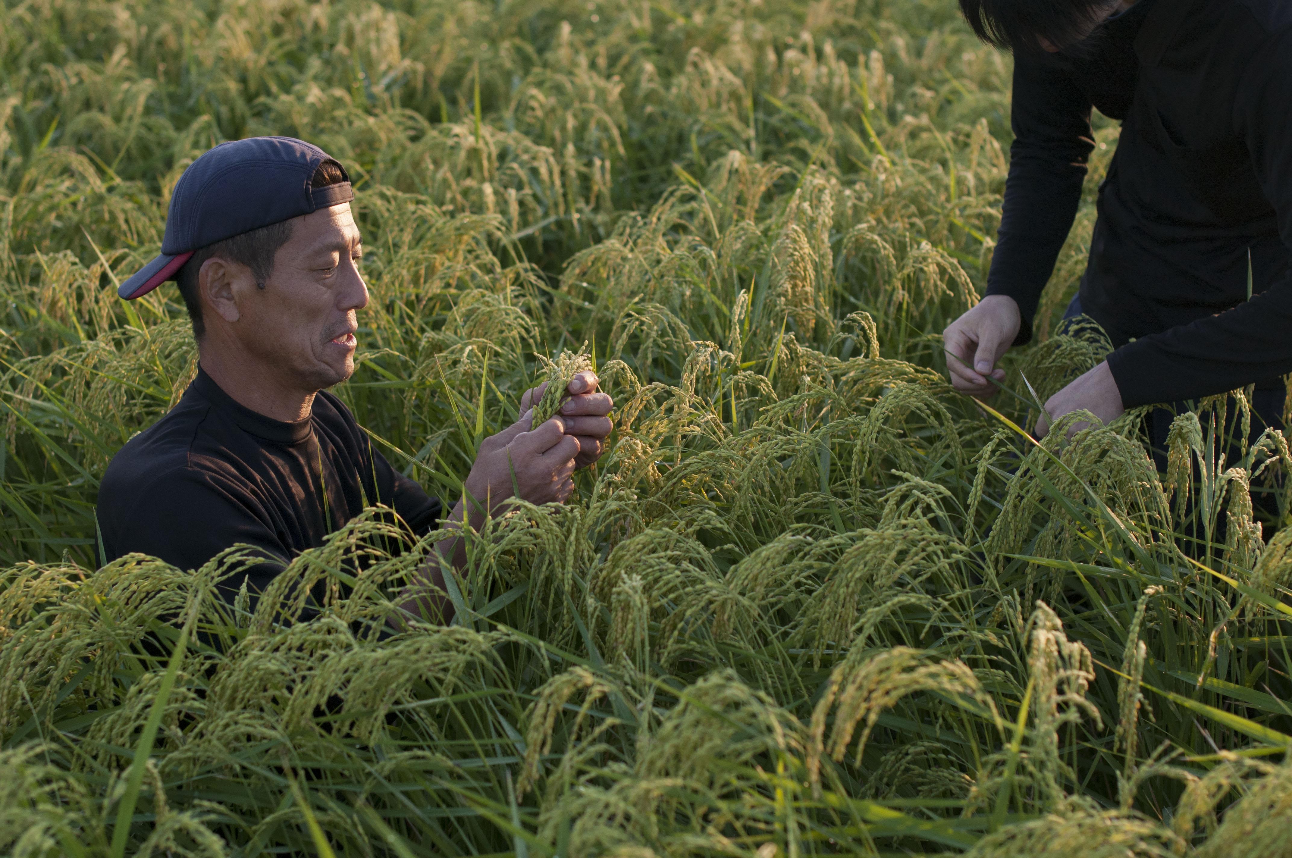 松本さん自然栽培朝日米